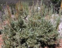 Image of Artemisia nova