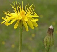 Image of Crepis runcinata