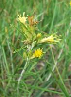 Image of Ericameria parryi