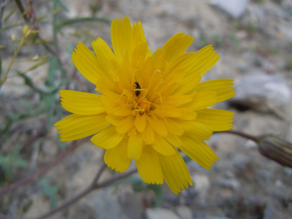 Malacothrix torreyi image