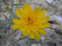 Image of Malacothrix torreyi
