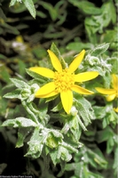 Image of Ericameria watsonii