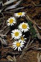 Image of Townsendia smithii