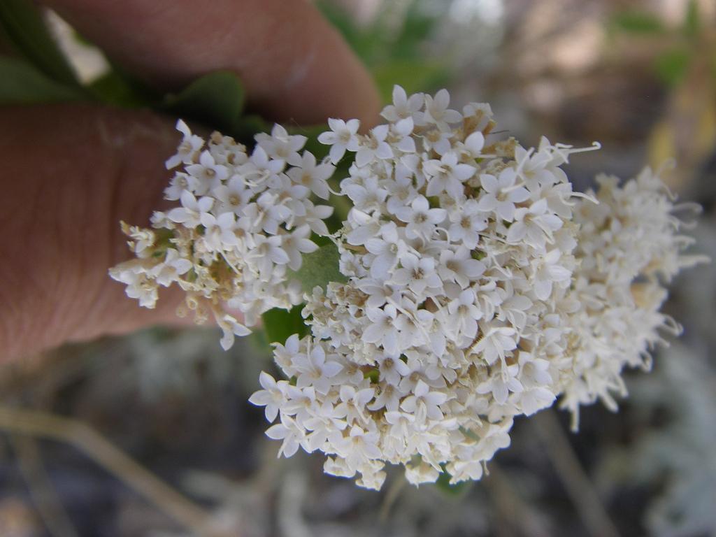 Stevia lemmonii image