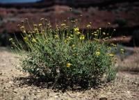 Image of Encelia resinifera