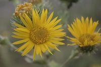 Image of Grindelia ciliatus