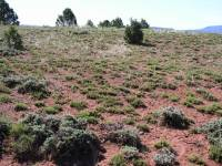 Artemisia pygmaea image