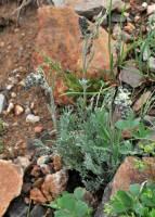 Image of Artemisia scopulorum