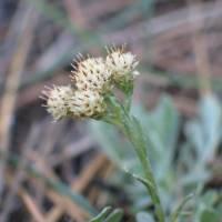 Image of Antennaria umbrinella