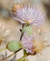 Image of Cirsium coahuilense