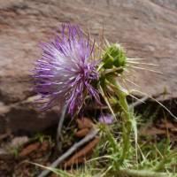 Image of Cirsium rydbergii