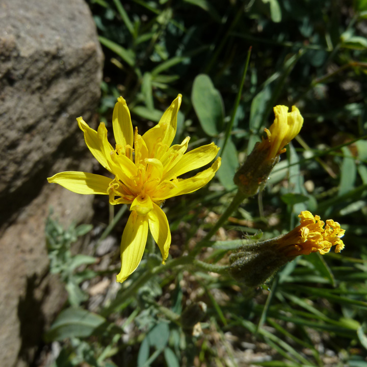 Crepis occidentalis image