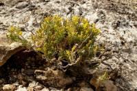 Ericameria arizonica image