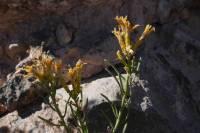 Image of Ericameria teretifolia