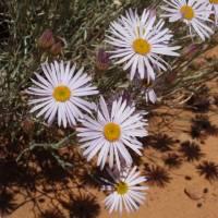 Image of Erigeron utahensis