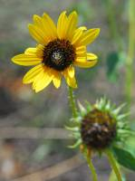 Image of Helianthus neglectus