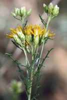 Image of Isocoma tenuisecta