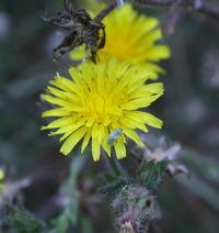 Image of Picris echioides