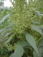 Image of Cyclachaena xanthiifolia