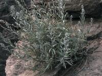 Image of Sphaeromeria ruthiae