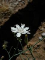 Stephanomeria exigua image