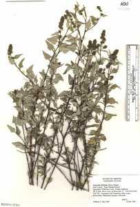 Ambrosia deltoidea image