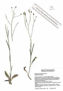 Hieracium carneum image