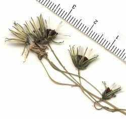 Image of Hieracium pringlei