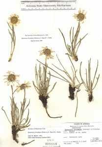Hymenoxys brandegeei image