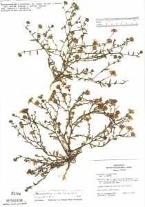 Arida arizonica image