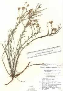 Image of Arida carnosa