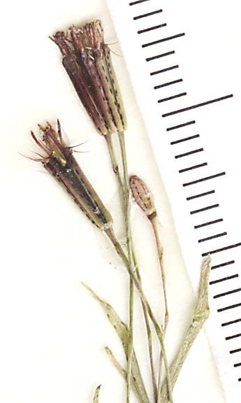 Pectis linifolia var. linifolia image