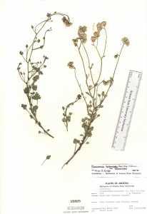Pleurocoronis laphamioides image