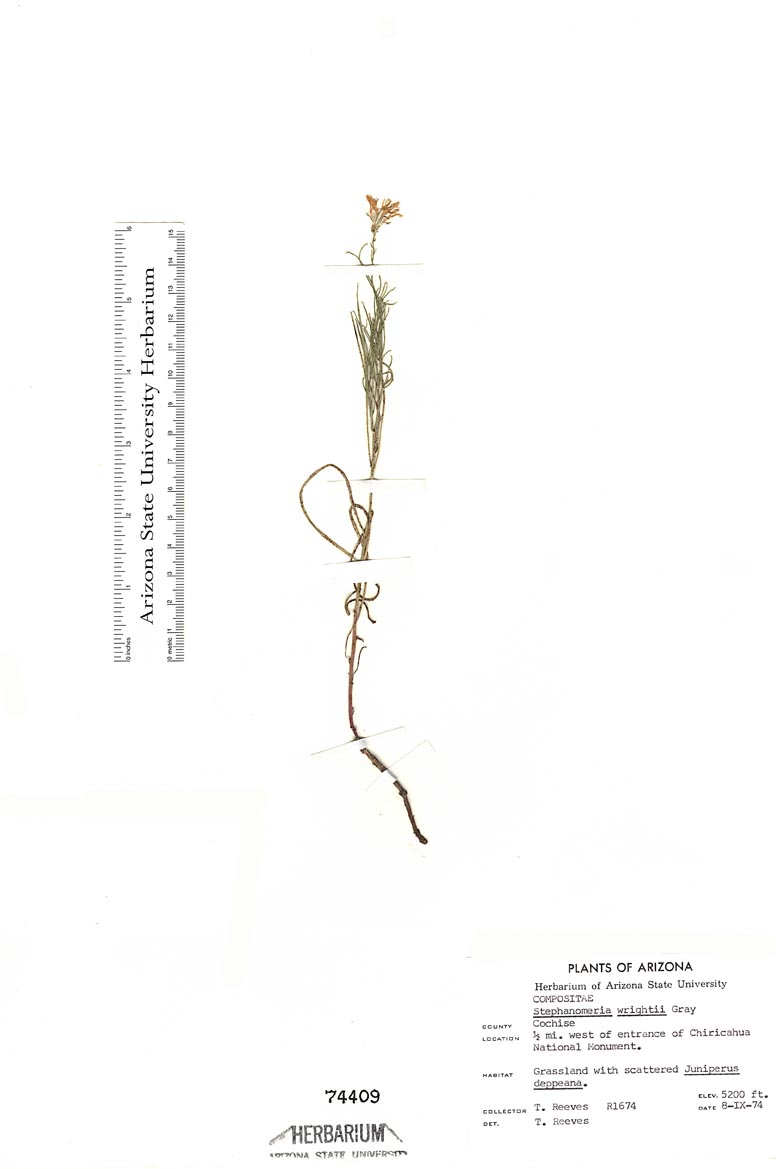 Stephanomeria image