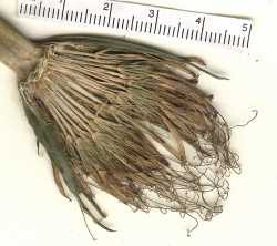 Tragopogon mirus image