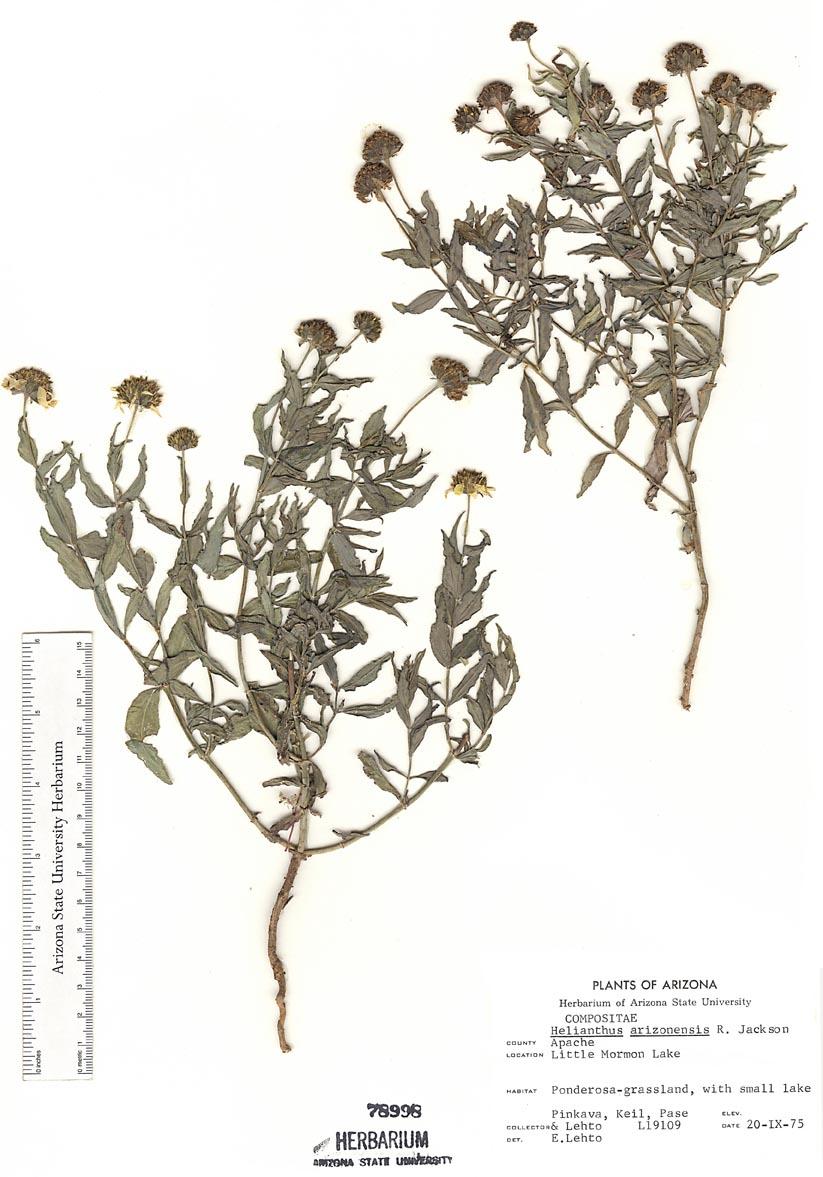 Helianthus image