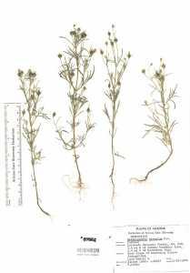 Heterosperma pinnatum image