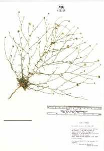 Image of Gutierrezia arizonica