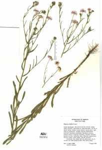 Erigeron arisolius image