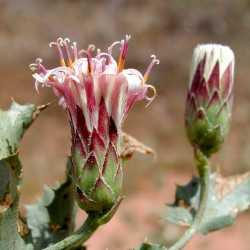 Image of Acourtia nana