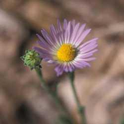 Image of Almutaster pauciflorus