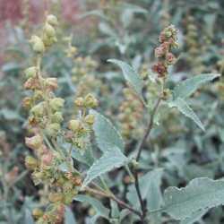 Image of Ambrosia deltoidea