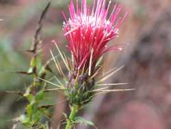 Image of Cirsium rothrockii