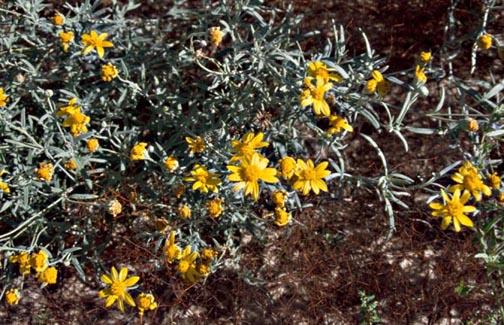 Picradeniopsis absinthifolia image