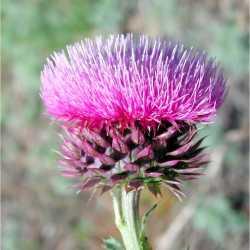 Image of Carduus nutans