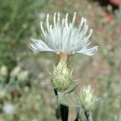Image of Centaurea diffusa
