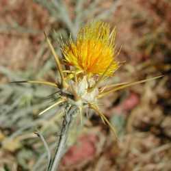 Image of Centaurea solstitialis