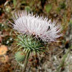 Image of Cirsium neomexicanum
