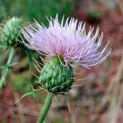 Image of Cirsium wheeleri