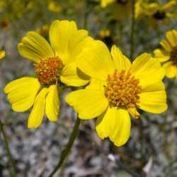 Image of Encelia farinosa